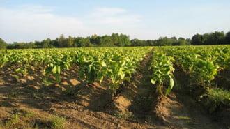 Ниските изкупни цени на тютюна разбуниха производителите